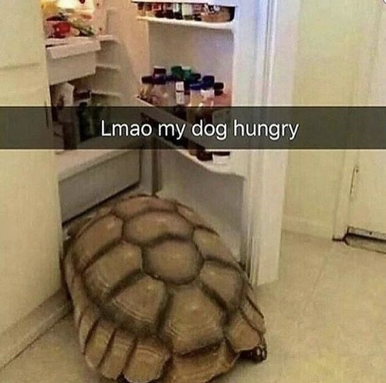 Snapchat meme of a turtle going to the fridge like a hungry dog