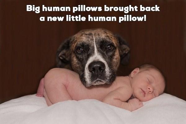 Dog breed - Big human pillows brought back a new little human pillow!
