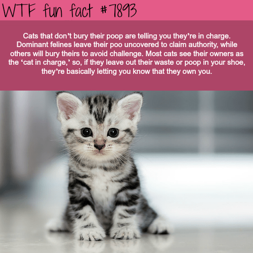 wtf facts - Cat - WTF fun fact # 7893 Cats that don't bury their poop are telling you they're in charge. Dominant felines leave their poo uncovered to claim authority, while others will bury theirs to avoid challenge. Most cats see their owners as the 'cat in charge,' so, if they leave out their waste or poop in your shoe, they're basically letting you know that they own you.
