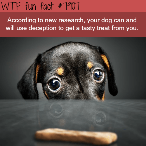 wtf facts - Dog - WTF fun fact #1107 According to new research, your dog can and will use deception to get a tasty treat from you.