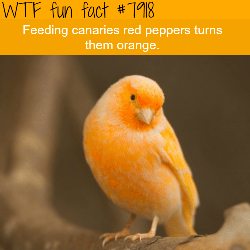 wtf facts - Bird - WTF fun fact # 718 Feeding canaries red pepperse turns them orange.