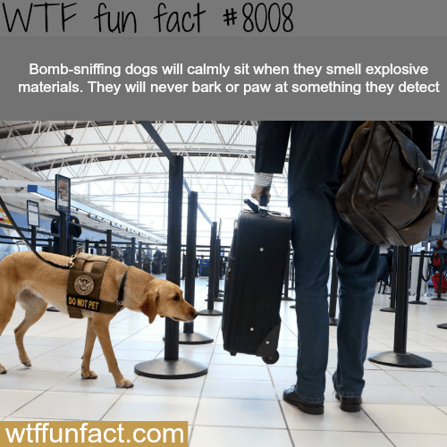 wtf facts - Fur - WTF fun fact # 8008 Bomb-sniffing dogs will calmly sit when they smell explosive materials. They will never bark or paw at something they detect DO NOT PET wtffunfact.com