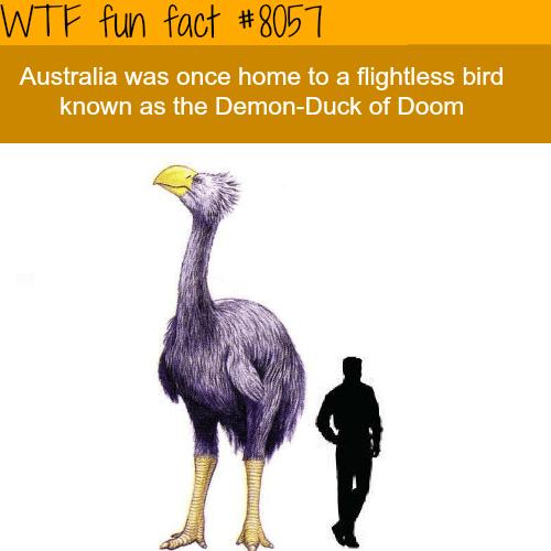wtf facts - Flightless bird - WTF fun fact #8051 Australia was once home to a flightless bird known as the Demon-Duck of Doom