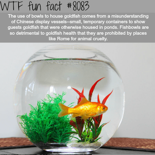 wtf facts - Goldfish - WTF fun fact #8083 The use of bowls to house goldfish comes from a misunderstanding of Chinese display vessels--small, temporary containers to show guests goldfish that were otherwise housed in ponds. Fishbowls are so detrimental to goldfish health that they are prohibited by places like Rome for animal cruelty.