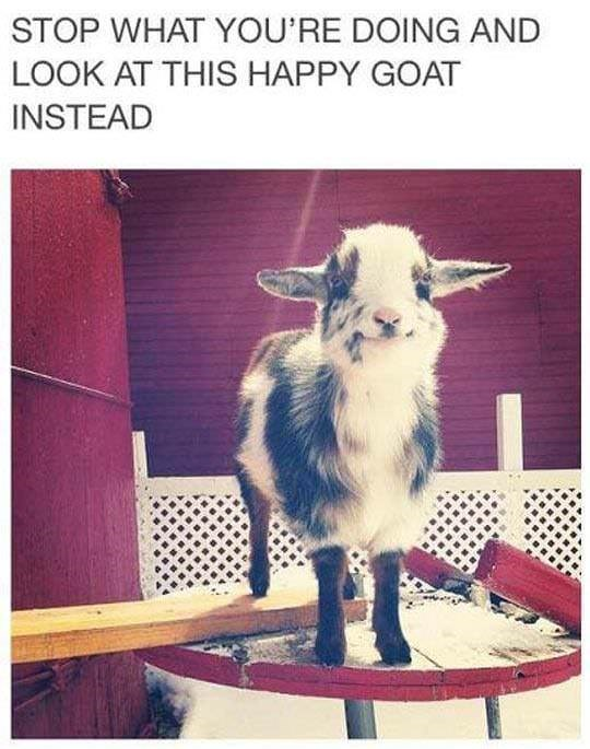 meme - Goats - STOP WHAT YOU'RE DOING AND LOOK AT THIS HAPPY GOAT INSTEAD