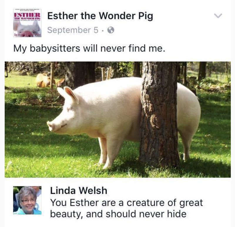 meme - Domestic pig - Esther the Wonder Pig ESTHER TIE WONDER PH September 5. In sta My babysitters will never find me Linda Welsh You Esther are a creature of great beauty, and should never hide