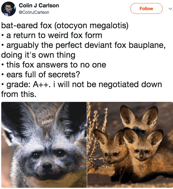 rating foxes - bat eared fox with large ears and small faces