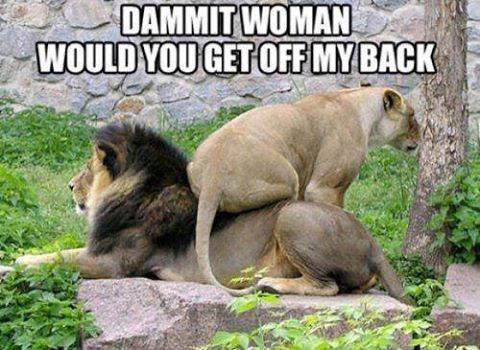funny meme of a lioness on the back of a lion