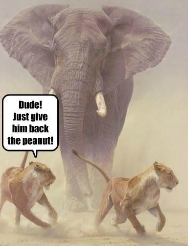 lion meme about stealing a peanut from an elephant