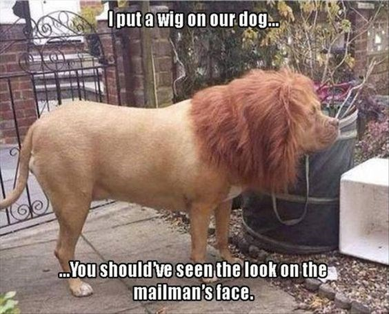 lion meme of a dog with a wig on that looks like a lion and scared the mailman