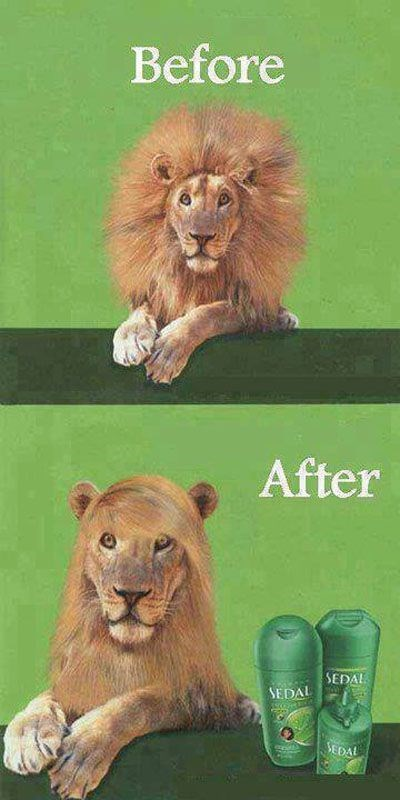 meme of a lion with hair care