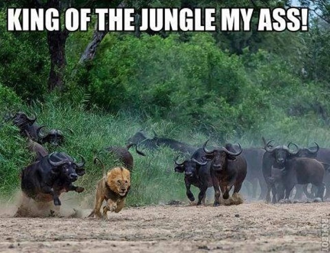 lion meme of getting chased by buffalo and not looking like king of the jungle