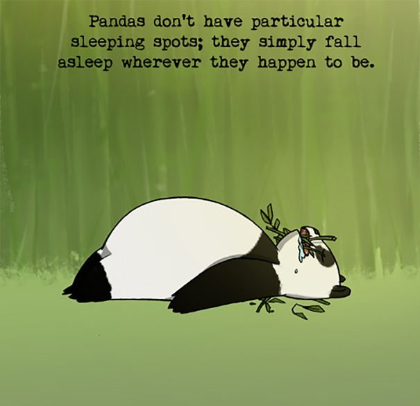 Badger - Pandas don't have particular sleeping spots; they simply fall asleep wherever they happen to be.