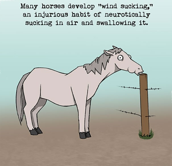 """Horse - Many horses develop """"wind sucking,"""" an injurious habit of neurotically sucking in air and swallowing it."""