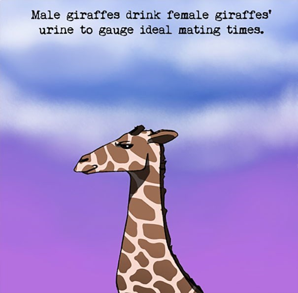 Giraffe - Male giraffes drink female giraffes' urine to gauge ideal mating times.