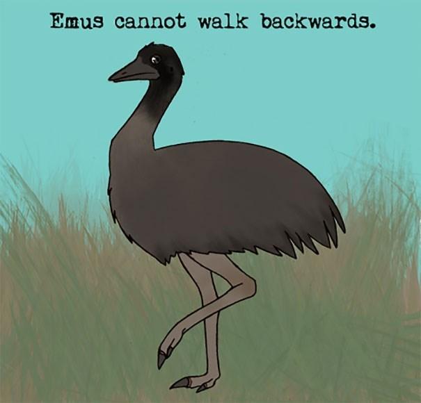 Bird - Emus cannot walk backwards.