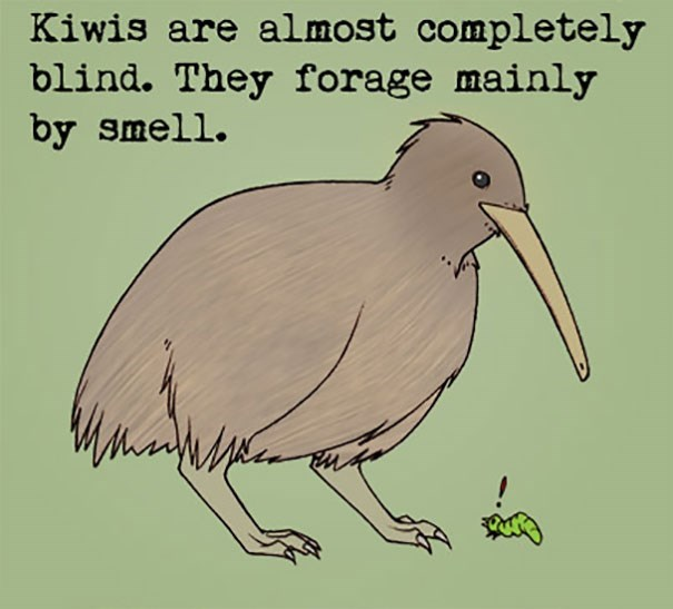 Bird - Kiwis are al most completely blind. They forage mainly by smell.