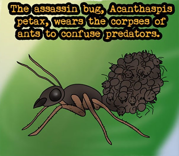 Insect - The assassin bug, Acanthaspis petax,wears the corpses of ants to confuse predators.
