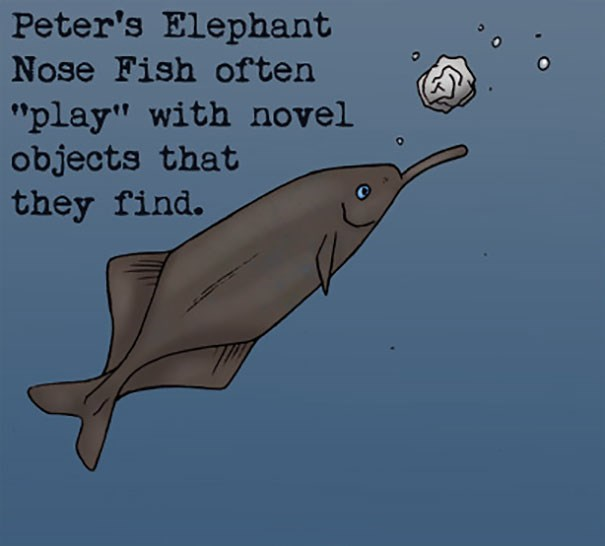 """Dolphin - Peter's Elephant Nose Fish often """"play"""" with novel objects that they find."""