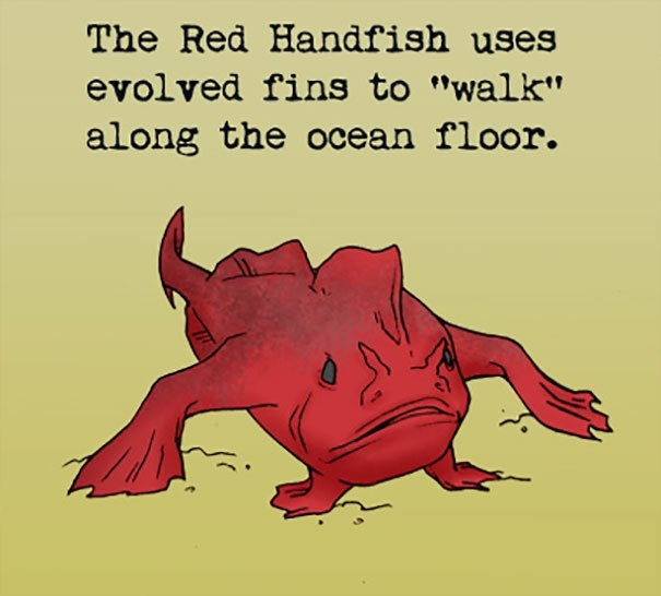 """Text - The Red Handfish uses evolved fins to """"walk"""" along the ocean floor."""