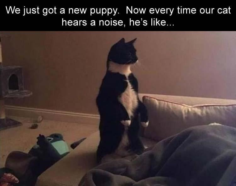 caturday meme about a cat being wary of the new dog