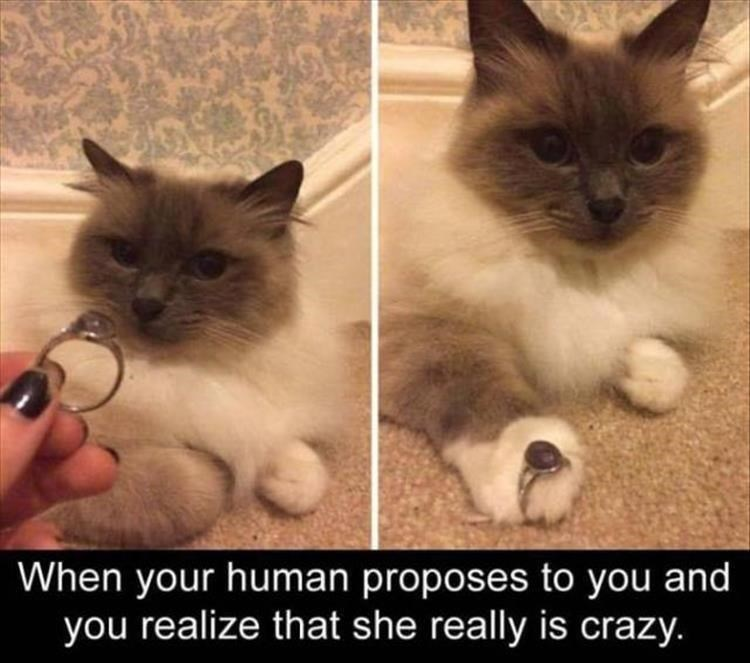 caturday meme about a cat getting proposed to by a human