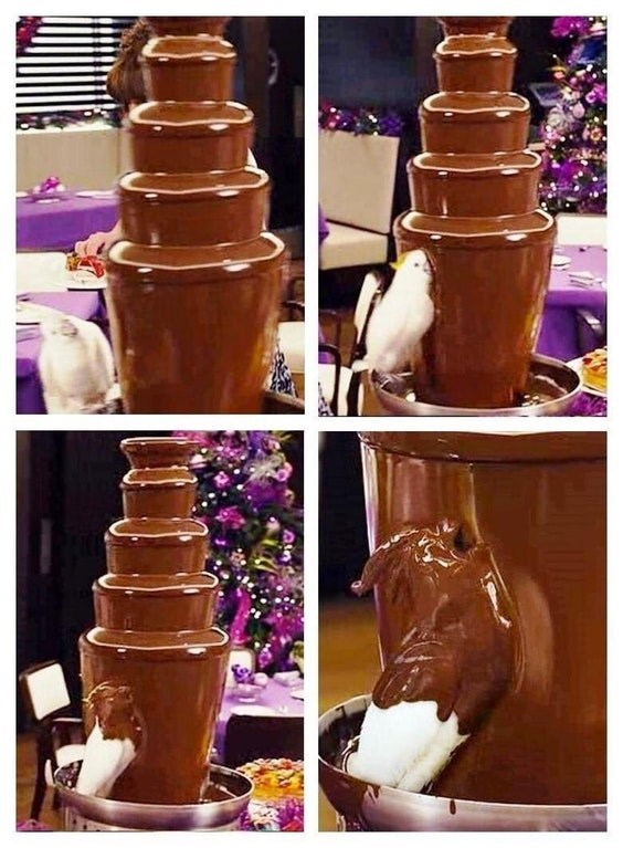 Funny meme about cockatoo in a chocolate fountain.