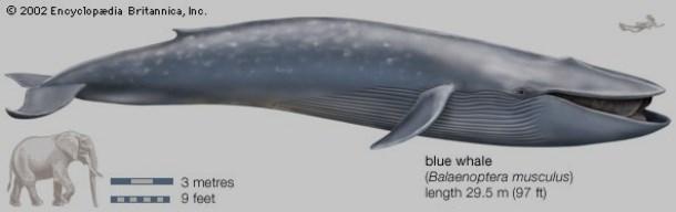 Marine mammal - 2002 Encyclopædia Britannica, Inc. blue whale (Balaenoptera musculus) length 29.5 m (97 ft) 3 metres m 9 feet