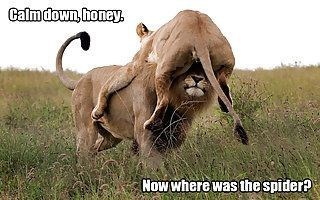 funny lions - - Terrestrial animal - Calmdown, honey Now where was the spider?