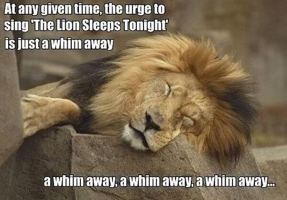funny lions - - Lion - At any given time, the urge to sing The Lion Sleeps Tonight is just a whim away a whim away, a whim away, awhimaway..