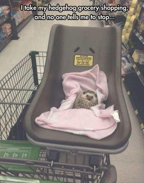 Car seat - O take my hedgehog grocery shopping, and no one tells me to stop...