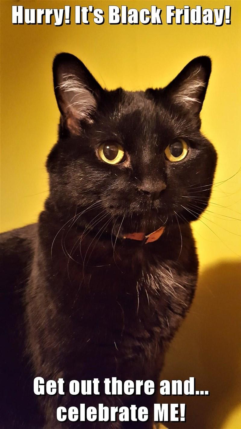 Black Friday Lolcats cat memes funny cats