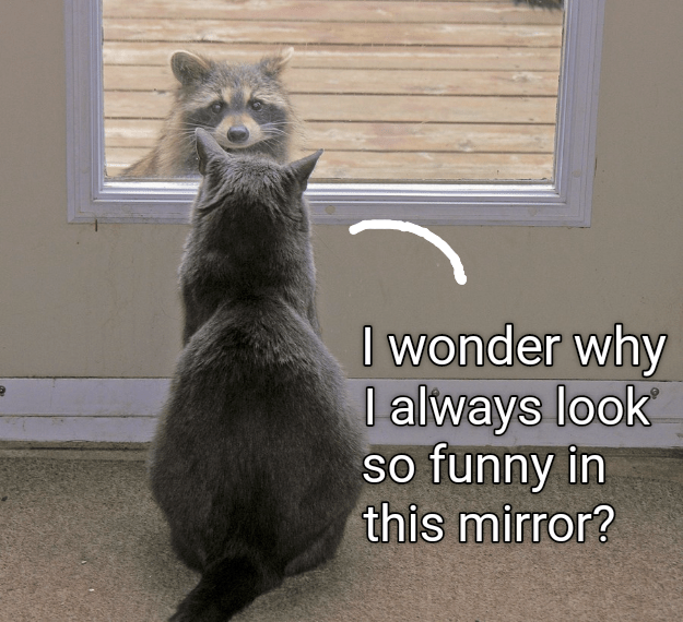 Whiskers - I wonder why l always look so funny in this mirror?