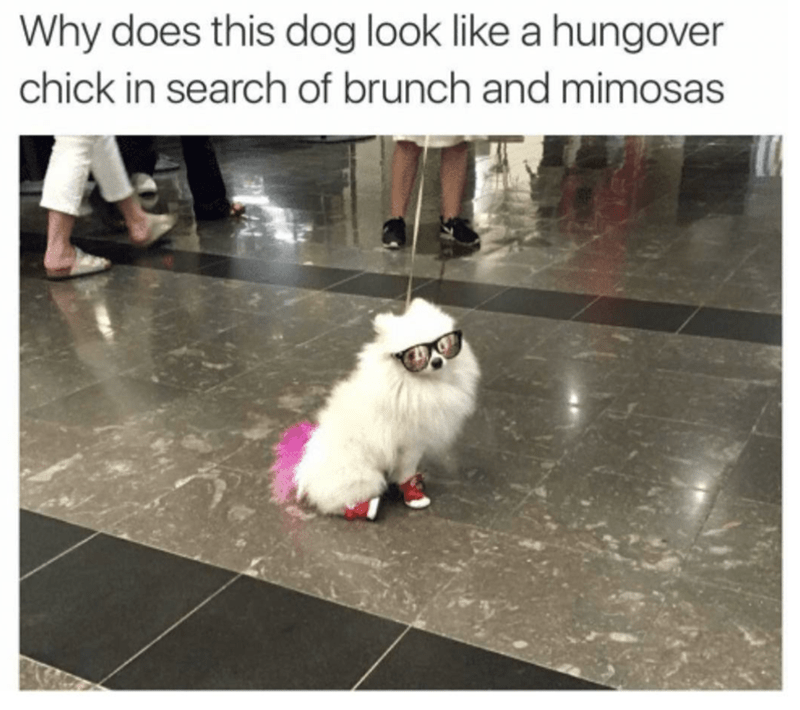 Mammal - Why does this dog look like a hungover chick in search of brunch and mimosas