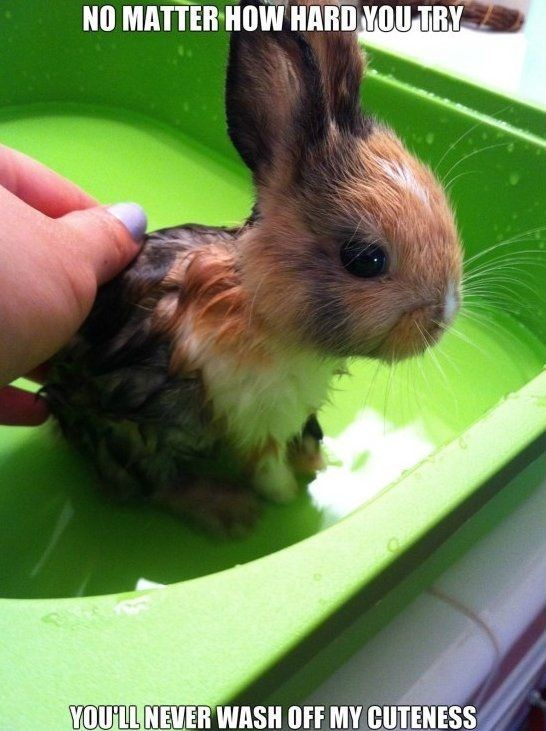 meme - Rabbit - NO MATTER HOW HARD YOU TRY YOULL NEVER WASH OFF MY CUTENESS