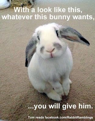 meme - Rabbit - With a look like this, whatever this bunny wants, you will give him. Tom reads facebook.com/RabbitRamblings