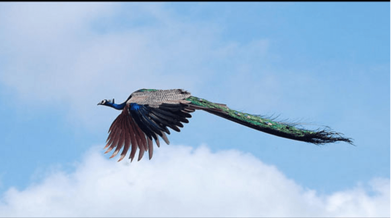 Flying Peacocks Look Like Mythical Creatures I Can Has - Flying peacocks look like mythical creatures