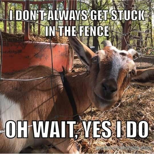 Goats - LDONTALWAYS GET STUCK INTHE FENCE OH WAITVESIDO