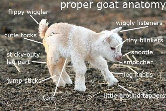 Goats - proper goat anatomy flippy wiggler wiggly listeners cutie tocks tiny blinkers snootle sticky-outy leg part smobcher leg Rnobs Jump sticks little ground tappers tum