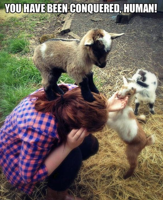 Goats - YOU HAVE BEEN CONQUERED, HUMAN!