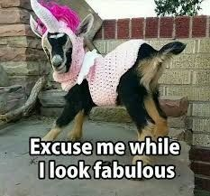 Goats - Excuse me while 0look fabulous