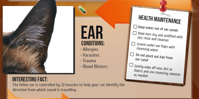 Font - HEALTH MAINTENANCE Keep water out of ear canals EAR Keep ears dry and acidified with otic rinse and cleanser Groom under ear flaps with cleansing wipes CONDITIONS: Allergies - Parasites Do not pluck out hair from ear canal - Trauma Gently wipe off wax, dirt or debris and use cleansing solution -Blood Blisters as needed INTERESTING FACT: The feline ear is controlled by 32 muscles to help your cat identify the direction from which sound is travelling.