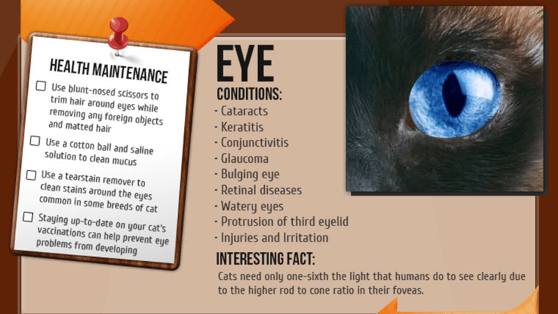 Text - EYE HEALTH MAINTENANCE CONDITIONS: Use blunt-nosed scissors to trim hair around eyes while removing any foreign objects and matted hair Cataracts Keratitis Conjunctivitis Glaucoma Use a cotton ball and saline solution to clean mucus Bulging eye Use a tearstain remover to clean stains around the eyes common in some breeds of cat -Retinal diseases Watery eyes - Protrusion of third eyelid Injuries and Irritation Staying up-to-date on your cat's vaccinations can help prevent eye problems from