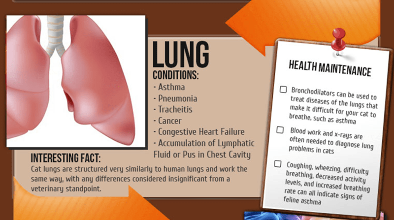 Nose - LUNG HEALTH MAINTENANCE CONDITIONS: OBronchodilators can be used to treat diseases of the lungs that make it difficult for your cat to breathe, such as asthma Asthma -Pneumonia -Tracheitis Cancer Blood work and x-rays are often needed to diagnose lung problems in cats Congestive Heart Failure -Accumulation of Lymphatic Fluid or Pus in Chest Cavity Coughing, wheezing, difficulty breathing, decreased activity levels, and increased breathing rate can all indicate signs of feline asthma INTER
