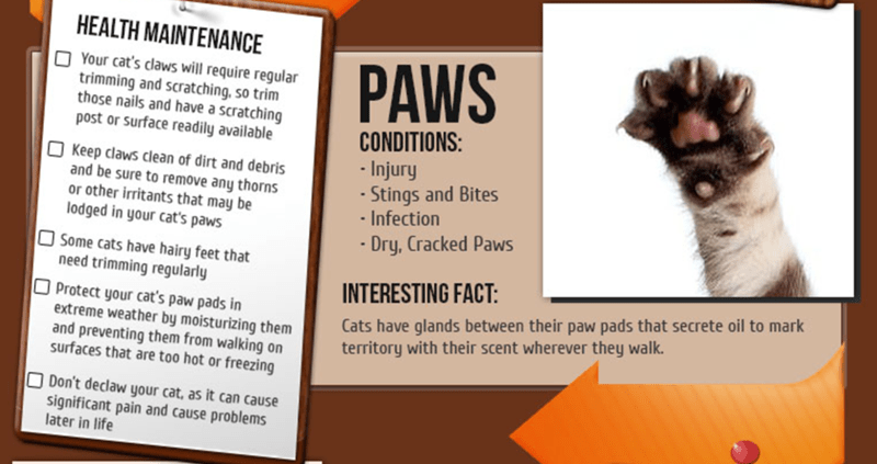 Text - HEALTH MAINTENANCE PAWS Your cat's claws will require regular trimming and scratching, so trim those nails and have a scratching post or Surface readily available CONDITIONS: Injury Stings and Bites -Infection OKeep claws clean of dirt and debris and be sure to remove any thorns or other irritants that may be odged in your cat's paws Dry, Cracked Paws Some Cats have hairy feet that need trimming regularly INTERESTING FACT: Cats have glands between their paw pads that secrete oil to mark t