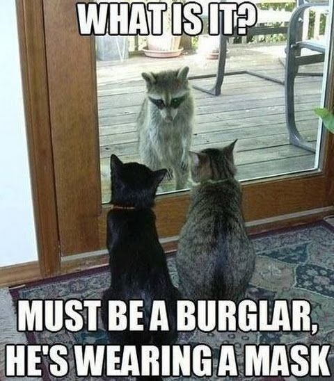 raccoon meme about raccoons looking like burglar cats