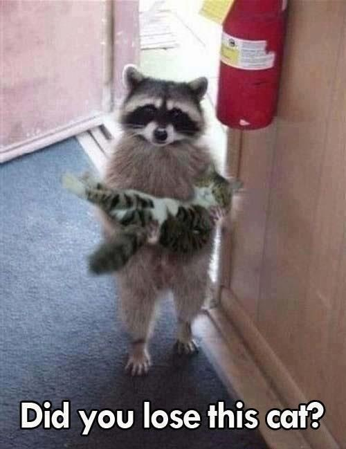 raccoon meme about raccoon returning lost cat