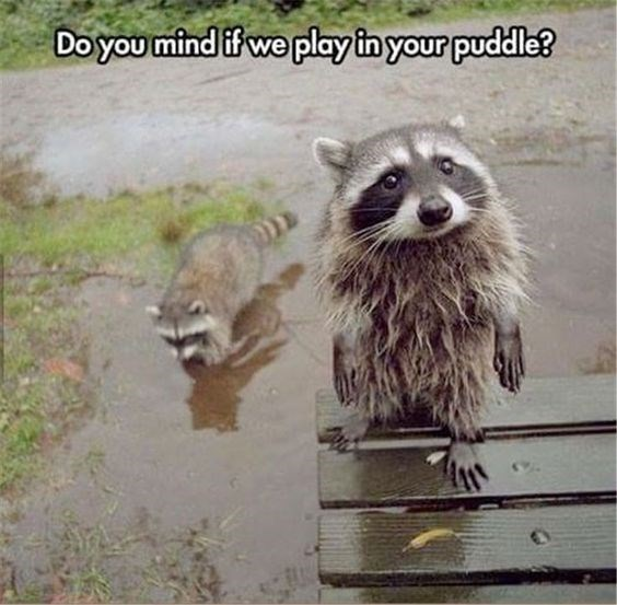 raccoon meme about asking permission to play in water