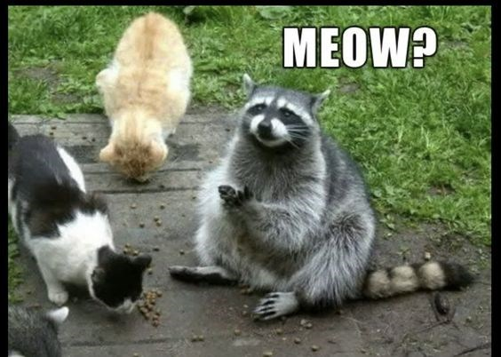 raccoon meme about pretending to be cat for food