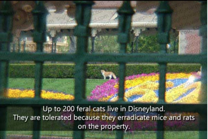Fence - com slght ed.com m sligh warpeo ngtnarp NOU Ebat Aichly Sight od k Yo ped.com Up to 200 feral cats live in Disneyland. They are tolerated because they erradicate mice and rats Pped om on the property.